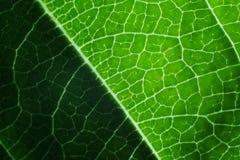 Zinnia Leaf Detail Royalty-vrije Stock Afbeelding