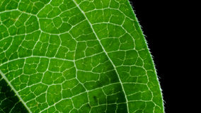 Zinnia Leaf Detail Στοκ φωτογραφίες με δικαίωμα ελεύθερης χρήσης