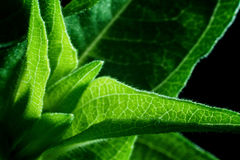 Zinnia Leaf Detail Royalty-vrije Stock Foto