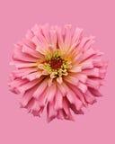Zinnia no fundo cor-de-rosa Imagem de Stock Royalty Free