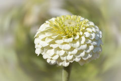 Zinnia. One flower in day light Royalty Free Stock Photography
