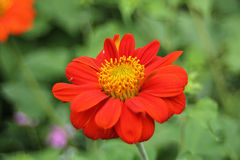 Zinnia orange Photo libre de droits