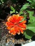 Zinnia orange Photo stock
