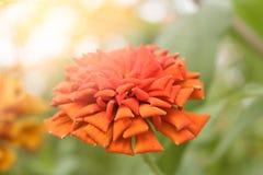 Zinnia orange photographie stock libre de droits