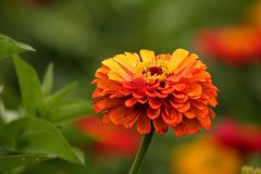Zinnia orange d'héritage image stock
