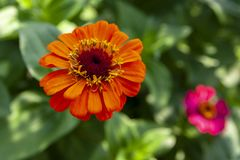 Zinnia orange dans le jardin à la nuance photo stock