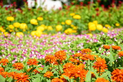 Zinnia orange dans le jardin Photos libres de droits