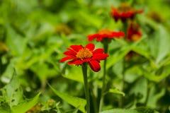 Zinnia orange in the garden is blooming stock images