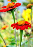 Zinnia orange Royalty Free Stock Image