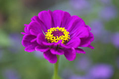 Zinnia púrpura Imagen de archivo libre de regalías