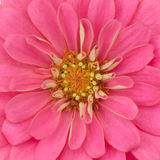 Zinnia petals background Royalty Free Stock Images