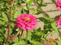 A Zinnia pink. A flower of Zinnia on a background of green leaves Royalty Free Stock Photography