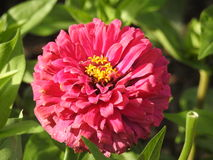 A Zinnia pink. A pink Zinnia flower close-up on a green leaf background Stock Photos