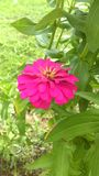 Zinnia. Pink Zinnia flower in the garden Stock Images