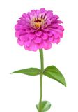 Zinnia. A pink zinnia flower isolated on white royalty free stock photography