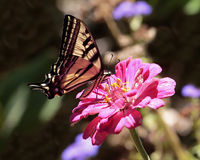 Zinnia pink. A pink zinnia hosting a Western Tiger Swallowtail in a California garden stock images