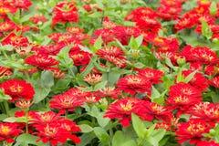 Zinnia röd blomma i trädgården Arkivbild