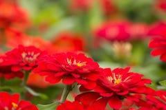 Zinnia röd blomma i trädgården Royaltyfria Foton