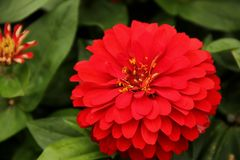 Zinnia. A red Zinnia blooming in a garden in Goteborg, Sweden stock image