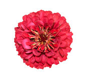 Zinnia Royalty Free Stock Photography
