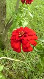 Zinnia. Red Zinnia flower in the garden Stock Photo