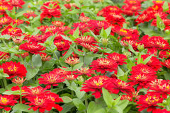 Zinnia, red flower in the garden Stock Photography