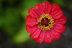 Zinnia, Red, Flower, Leaf, Nature Royalty Free Stock Photos