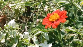 A Zinnia red orange flower with green leaves sway in a warm spring breeze in a spring season at a botanical garden. Zinnia red orange flower with green leaves stock video footage