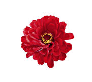 Zinnia rojo brillante de la flor aislado Fotos de archivo