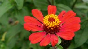 Zinnia rojo del narrowleaf en el jardín metrajes