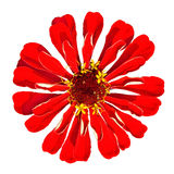 Zinnia rojo Elegans aislado en el fondo blanco Fotografía de archivo