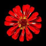 Zinnia rojo Elegans aislado en fondo negro Fotografía de archivo libre de regalías