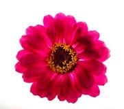 Zinnia rosa Fotografia Stock