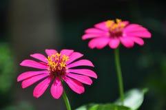 Zinnia rosa al sole Immagini Stock Libere da Diritti