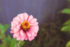 Zinnia rosa del fiore su fondo vago neutrale Primo piano immagini stock