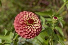 Zinnia rosa in giardino immagini stock libere da diritti