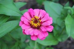 Zinnia rosa luminosa Fotografia Stock