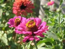 Zinnia rosado Imagen de archivo libre de regalías