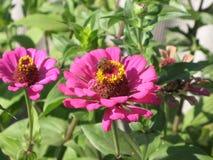 Zinnia rosado Fotografía de archivo libre de regalías