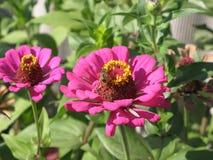 Zinnia rosado Fotografía de archivo