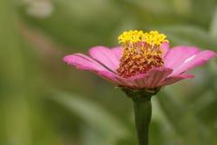 Zinnia rosado Foto de archivo libre de regalías