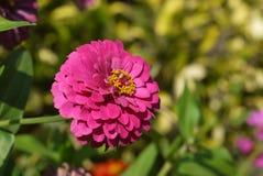 Zinnia rosado blooming2 Fotos de archivo