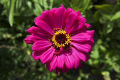 Zinnia rosado de la flor Foto de archivo libre de regalías