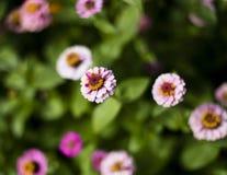 Zinnia rosado en un campo de flores Imagenes de archivo