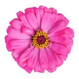 Zinnia rosado floreciente Elegans aislado en blanco Foto de archivo libre de regalías