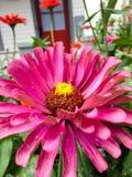 Zinnia rosado floreciente grande Foto de archivo