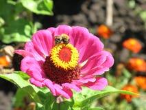 Zinnia rosado y una abeja Imagenes de archivo