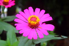 Zinnia rose Photo libre de droits