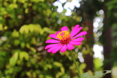 Zinnia rose Images stock
