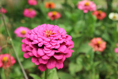 Zinnia rose avec beaucoup de pétales photo libre de droits